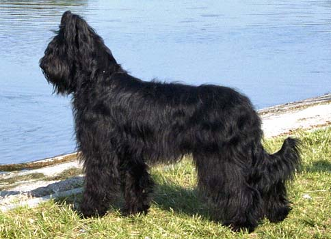 The Briard A Heart Wrapped In Fur