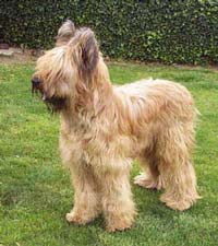 A lovely clear tawny on a young Briard