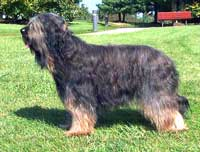 An extreme overlay on a tawny Briard