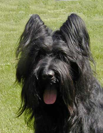 Living With The Briard